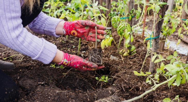 Plantarea legumelor